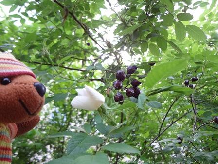 5月 ローズヒップの花と実
