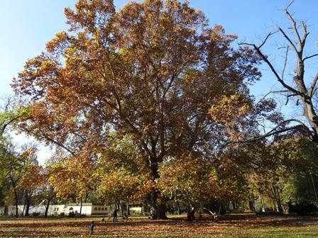 マルギット島の大木
