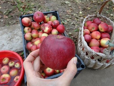 リンゴ 大収穫