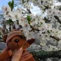 駅の桜もどき