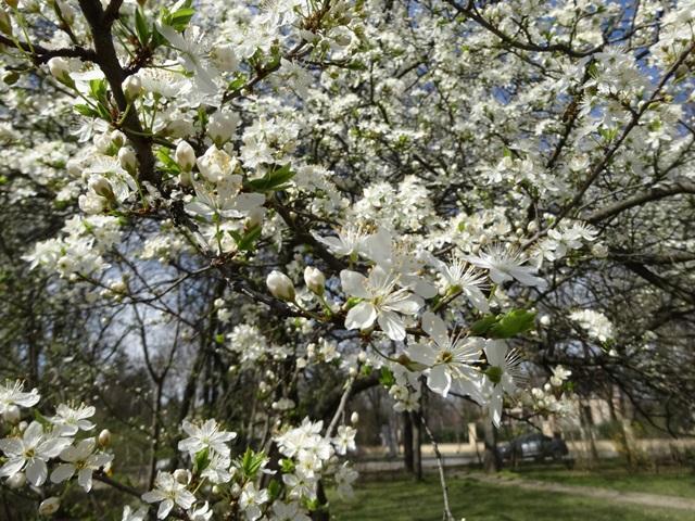 広場の桜もどき