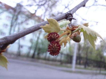 プラタナス 花