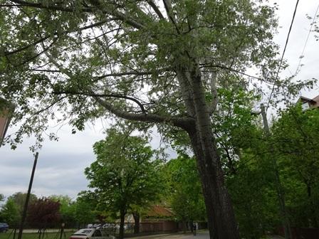 白フワの木
