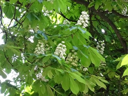 ゲステニェの花
