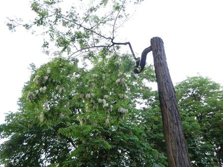 アカシア大木