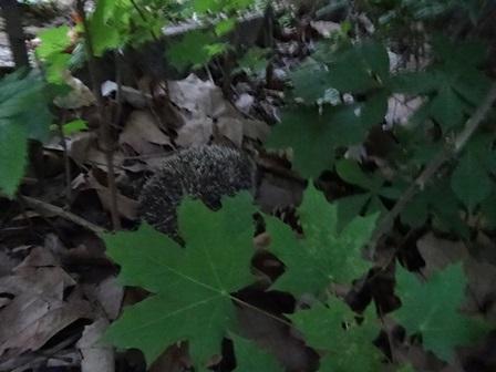 ハリネズミ