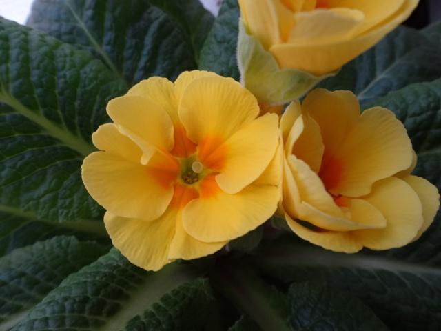 プリムラ黄色