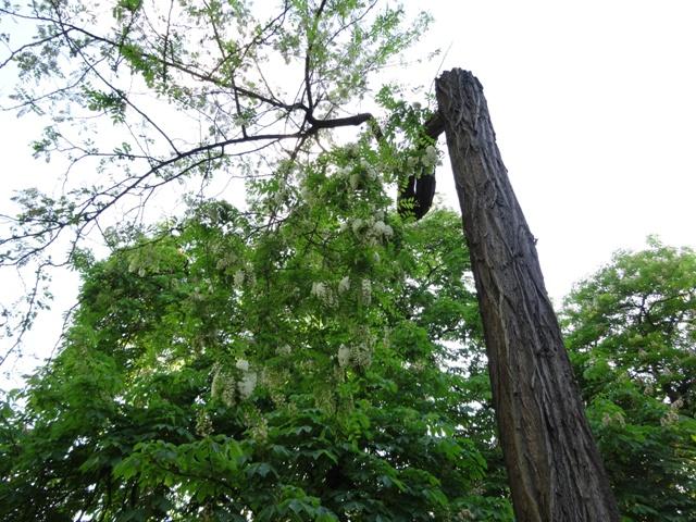 生き延びた枝
