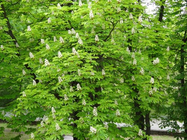 4月25日トチノキ花盛り