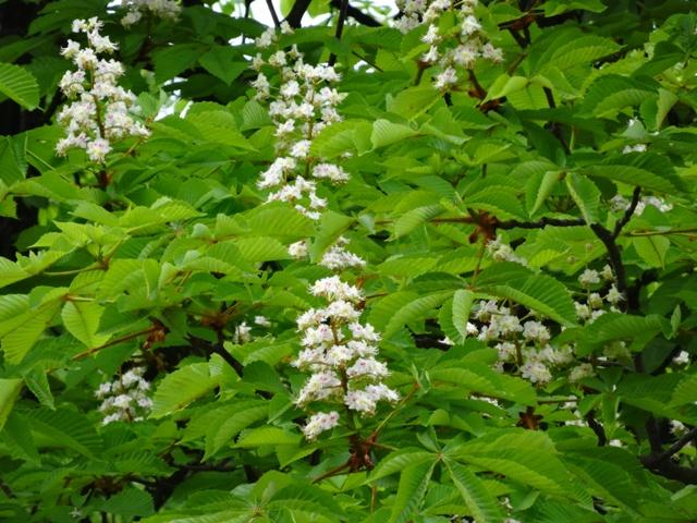 4月25日トチノキの花