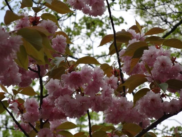 八重桜咲いた