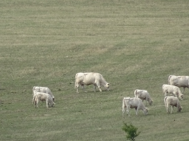 スロヴァキアの牛