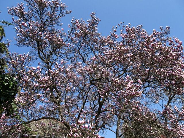 マグノリア大木