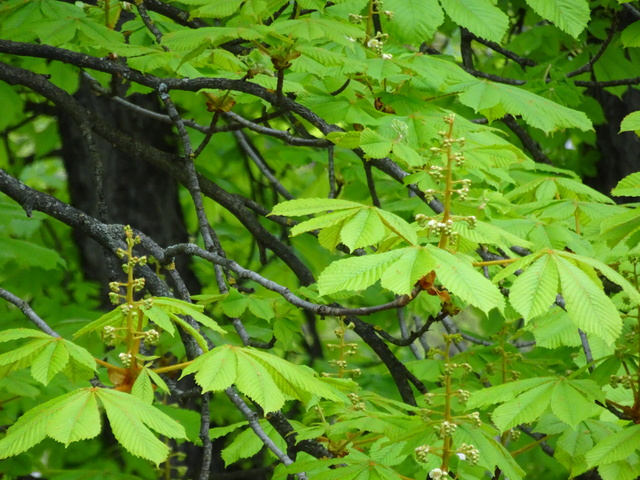 マロニエの花芽