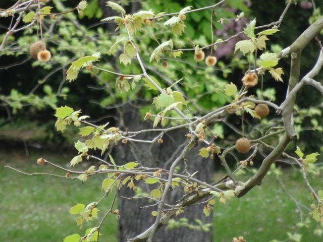 プラタナスの芽吹き