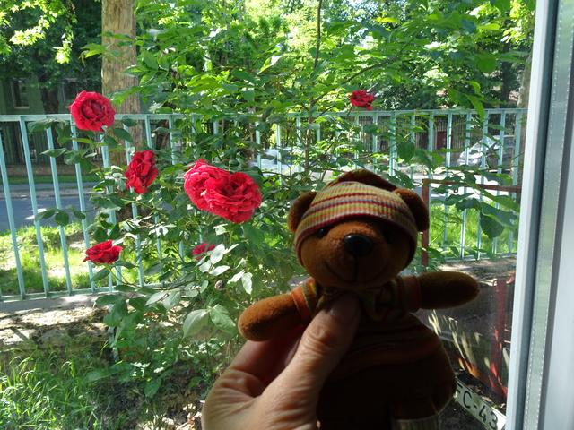 窓辺のバラ